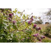Wild Flower - Lesser Burdock - Arctium Minus