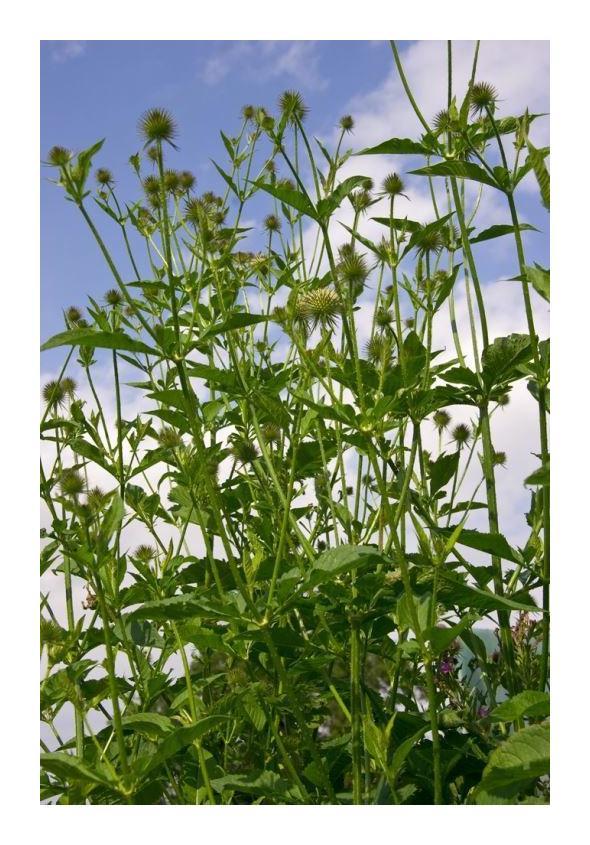 Large Packe Dipsacus pilosus 375 Seeds British Wild Flower Lesser Teasel