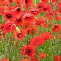 Wild Flower - Red Common Field Poppy - Papaver Rhoeas