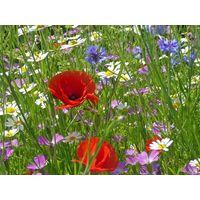 Wild Flower - Special Flower Mixture - Cornfield Annual