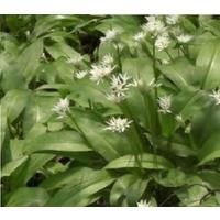 Wild Flower - Wild Garlic - Ramsons - Allium Ursinum