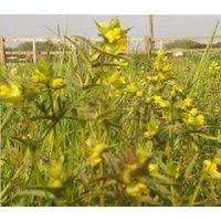 Wild Flower - Yellow Rattle - Rhinanthus Minor