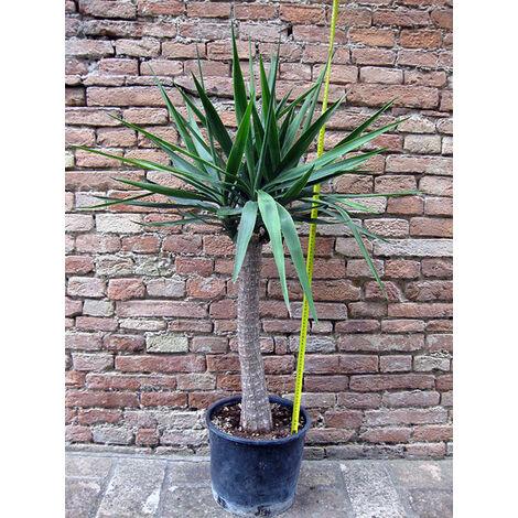 Yucca elephantipes ramificata, tronchetto della felicità 110 cm, cactus, pianta grassa