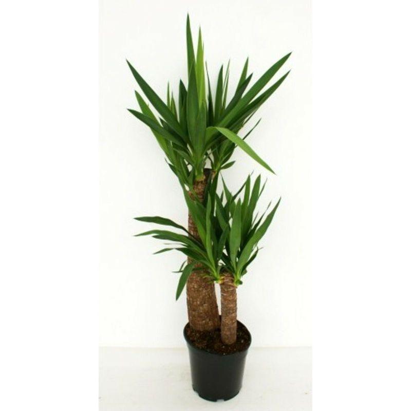 Piante Da Interno Yucca.Yucca Tronchetto Della Felicita Pianta Di Yucca Altezza 80 100cm