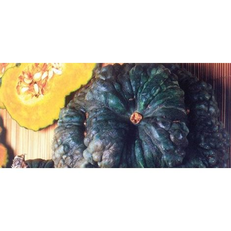 Zucca marina di Chioggia (vaso 10)