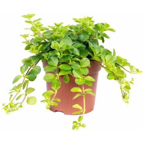 """Zwergpfeffer """"Smit Rondo Venetiano"""" - Höhe ca. 15 cm, Topf-Ø 10,5 cm - Peperomia rotundifolia"""
